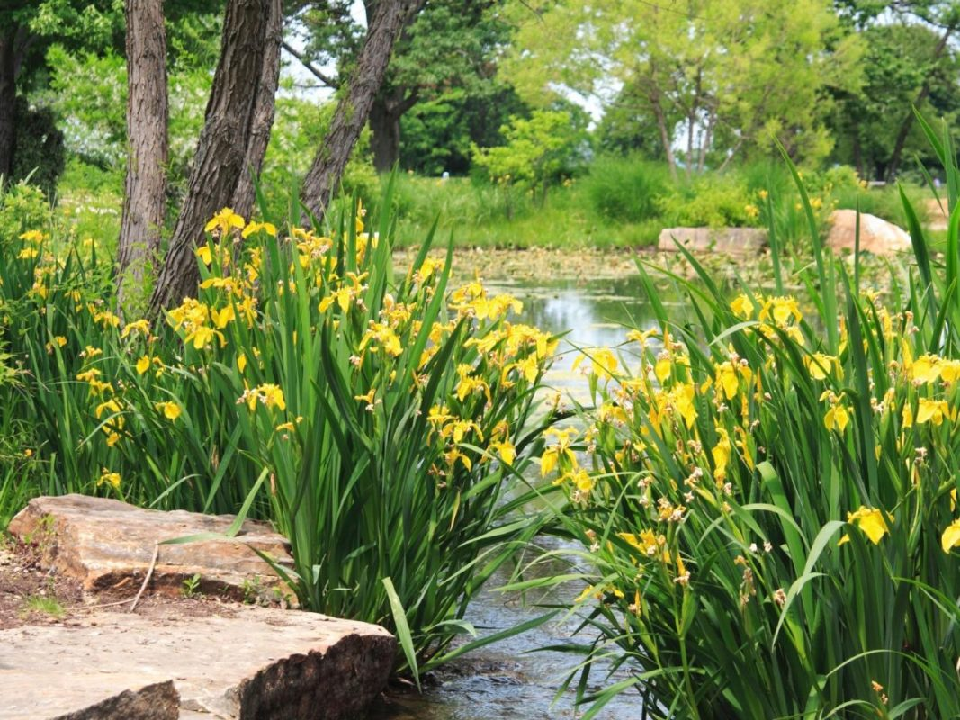 Enchanting Yellow Flag Iris