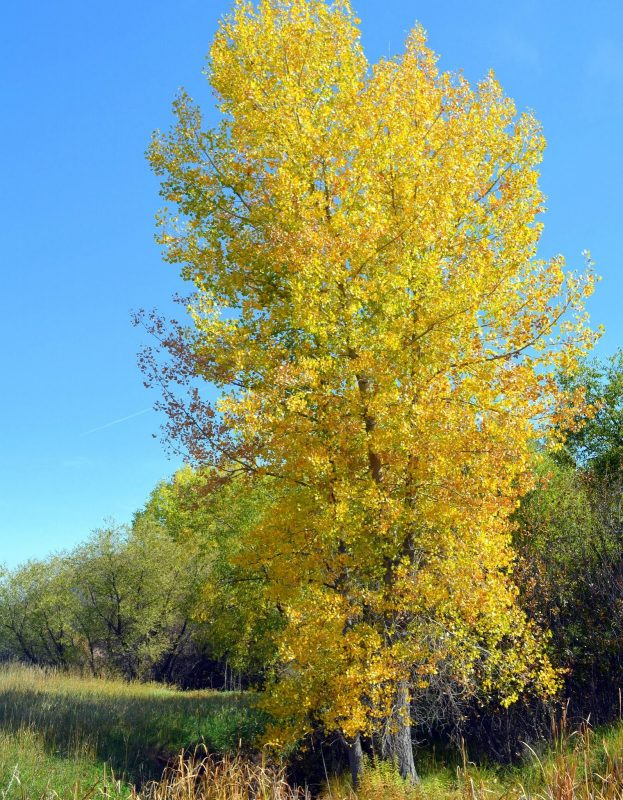 Beautiful Quaking Aspen Tree