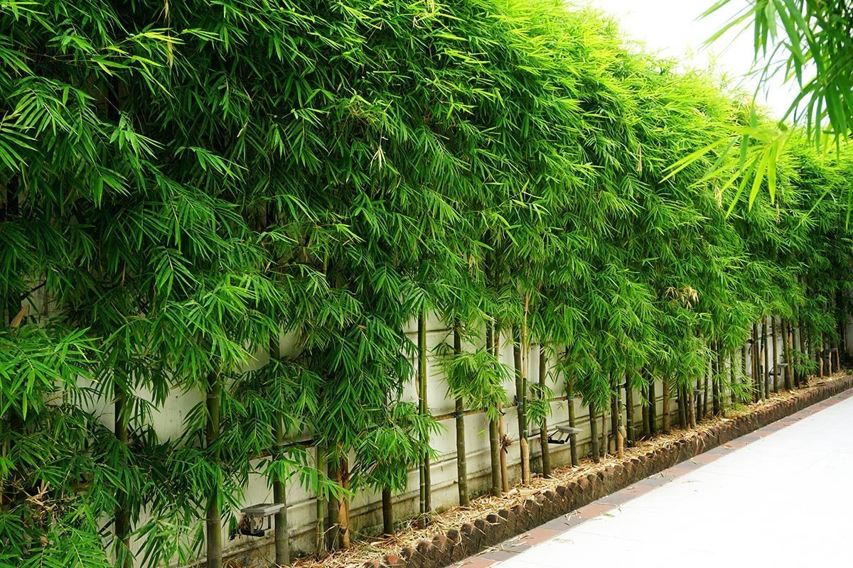 bamboo fence backyard