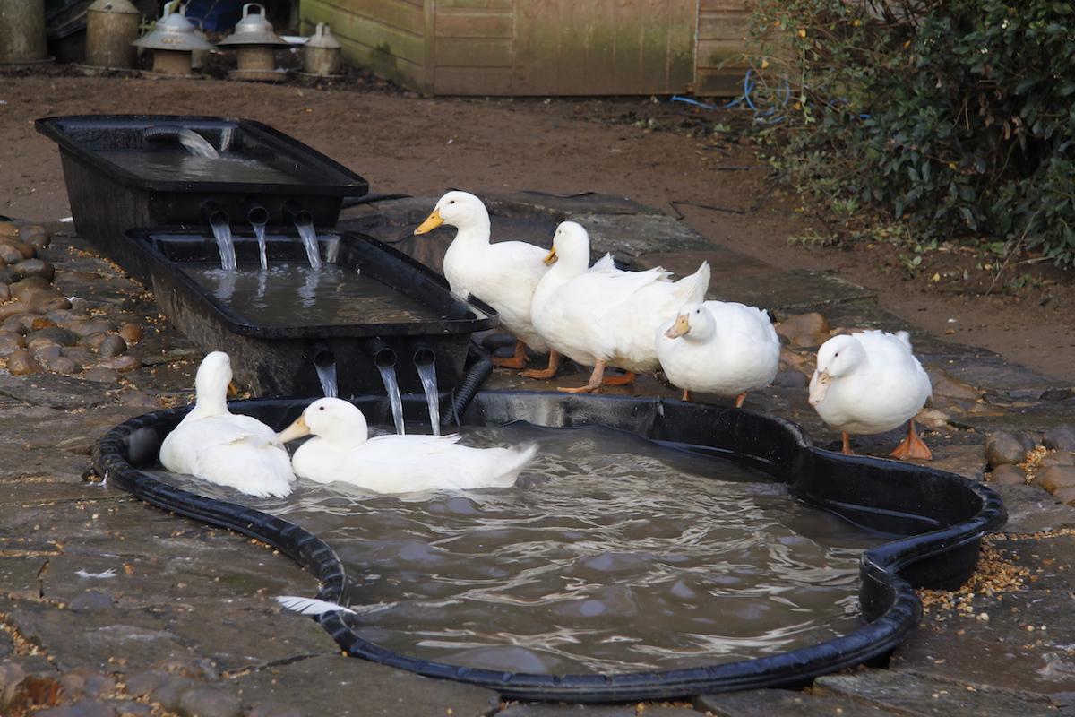Simple Waterfall Backyard Duck Pond