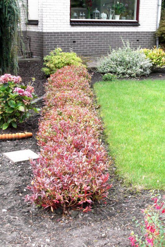 A Row of Fetterbush