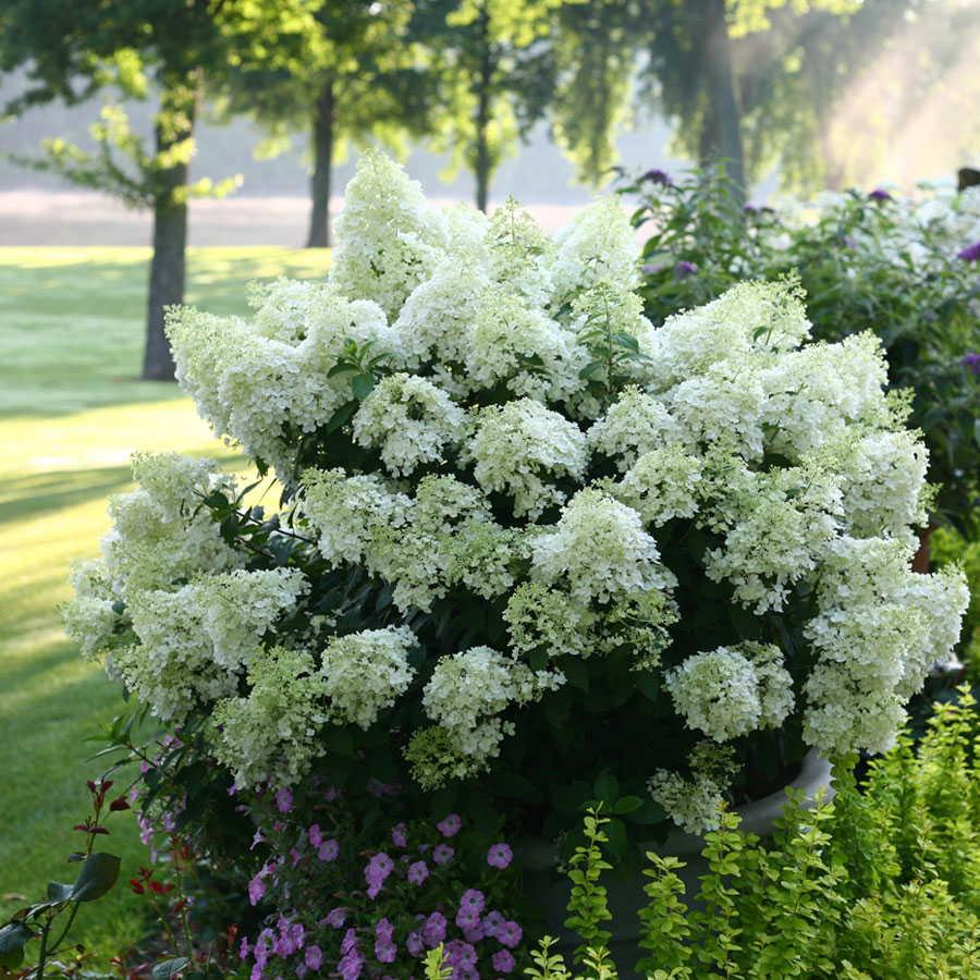 Elegant Smooth Hydrangeas