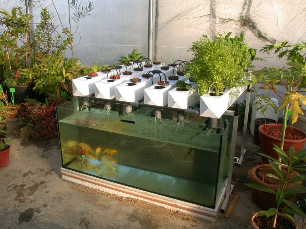Backyard Aquaponic with Aquarium